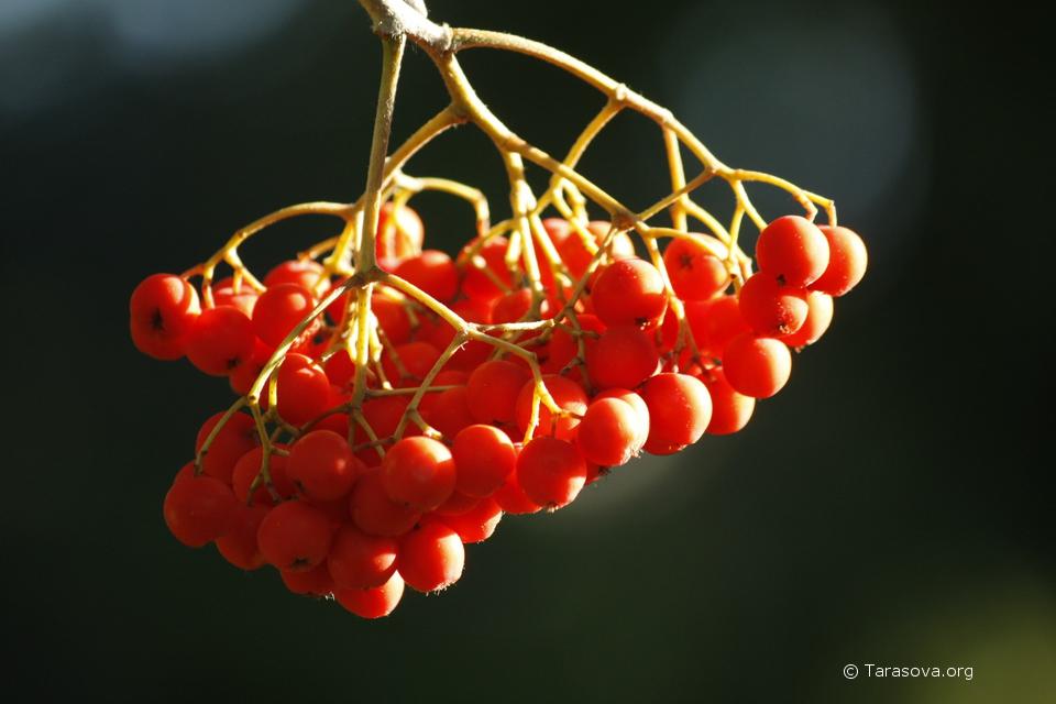 Осенью созревают ягоды