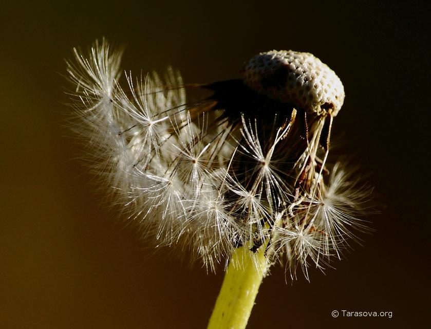 Дунешь на шарик - поплывут, полетят в воздухе легкие летучие семена